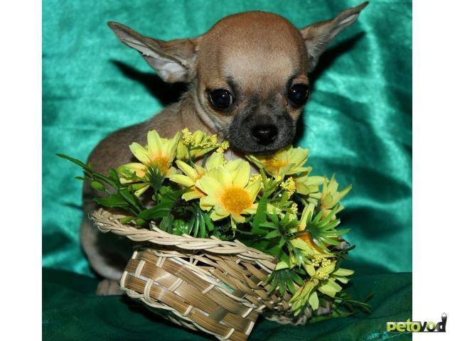 Продаю: Продаётся очаровательная девочка чихуахуа недорог
