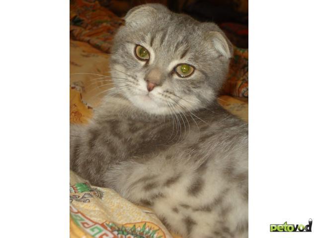 Вязка: Шотландский котик ищет невесту британку