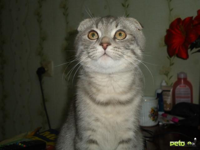 Вязка: Шотландский котик ищет невесту британку фото3
