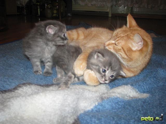 Отдам в дар: Отдам котят в хорошие руки фото2