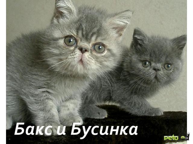 Продаю:  экзотических и персидских котят