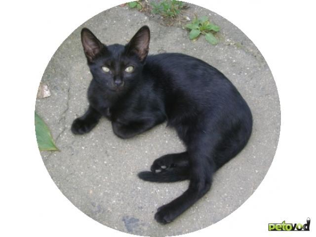 Отдам в дар: Бомбейская маленькая пантерка - котёнок