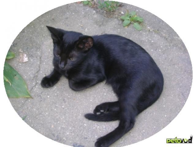 Отдам в дар: Бомбейская маленькая пантерка - котёнок фото2