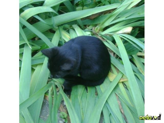 Отдам в дар: Бомбейская маленькая пантерка - котёнок фото3