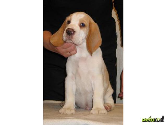 Продаю: щенок бигля редкого окраса