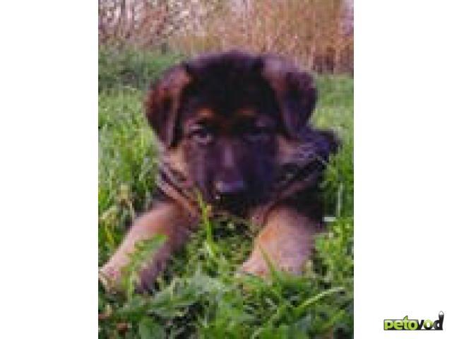 Куплю: куплю собаку породы немецкая овчарка