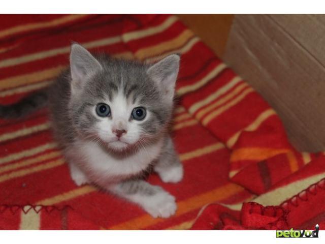 Отдам в дар: Отдаю котят, 1,5 месяца