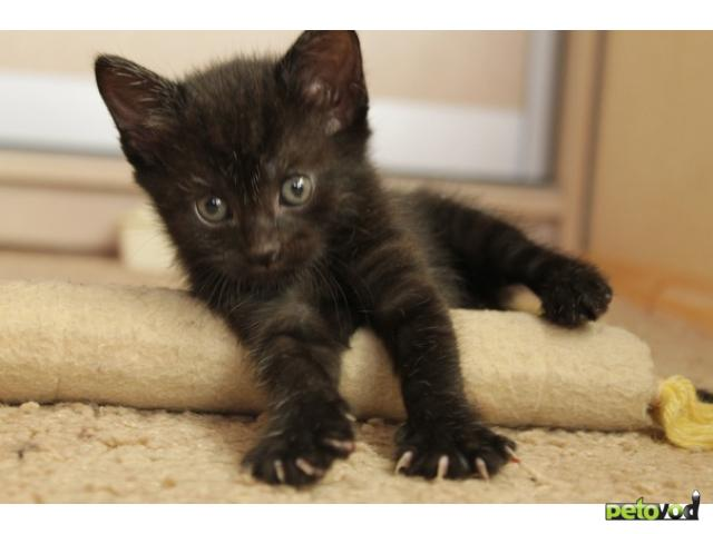 Отдам в дар: Отдаю котят, 1,5 месяца фото3
