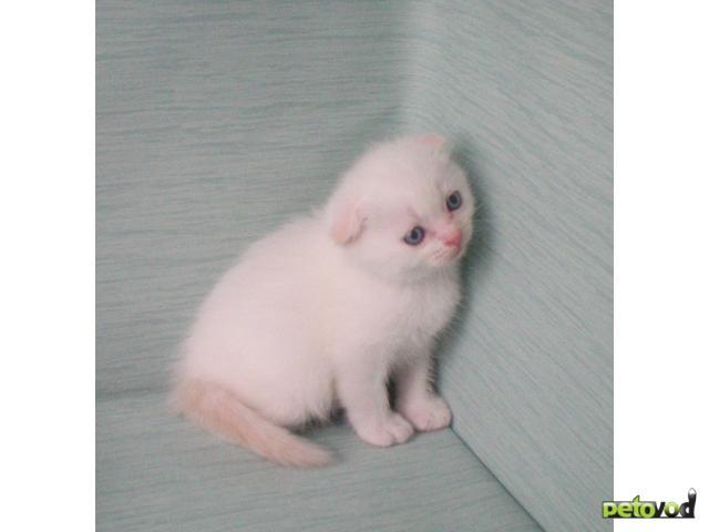 Продаю: Котик р17082011 окрас ред колорпойнт
