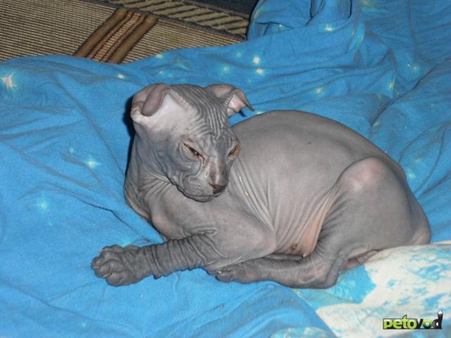 Продаю: Украинский Левкой котята