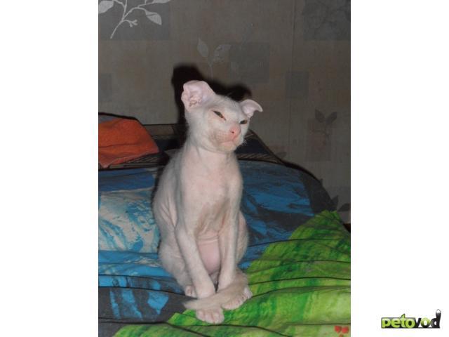 Продаю: Украинский Левкой котята фото3