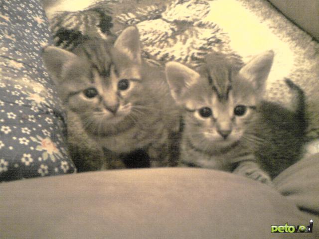 Отдам в дар: Отдам полупородистых котят БЕСПЛАТНО фото2