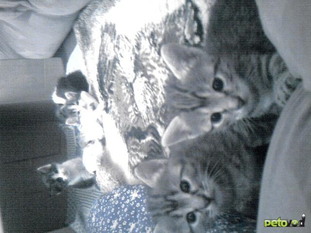 Отдам в дар: Отдам полупородистых котят БЕСПЛАТНО фото3