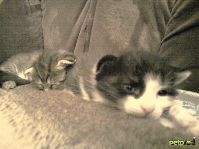 Отдам в дар: Отдам полупородистых котят БЕСПЛАТНО