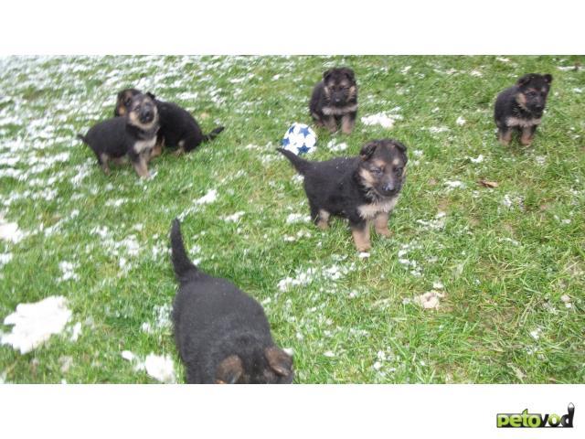 Продаю: Щенки немецкой овчарки от ярких и красивых родит фото4