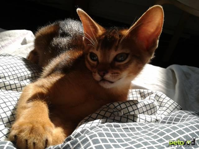 Продаю: тся Абиссинские котята