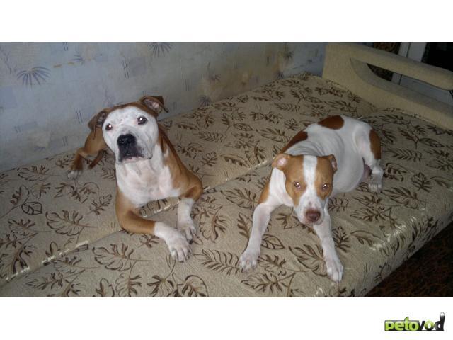 Продаю:  щенков питбуля