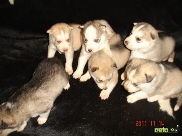 Продаю: щенки сибирского хаски
