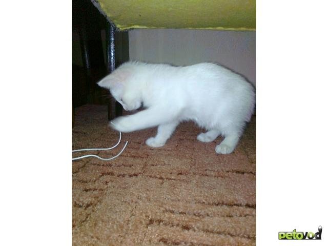 Отдам в дар: котик-обормотик блондин в дар фото2