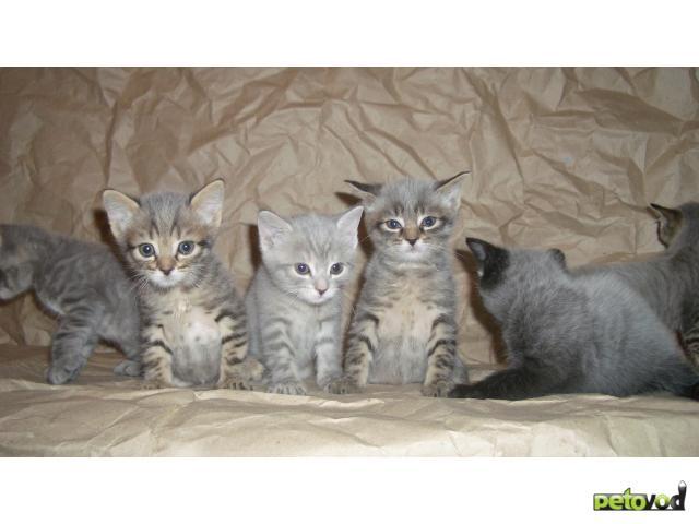 Продаю: Британские котятки