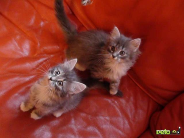 Отдам в дар: Котята от сибирской кошки и персидского кота