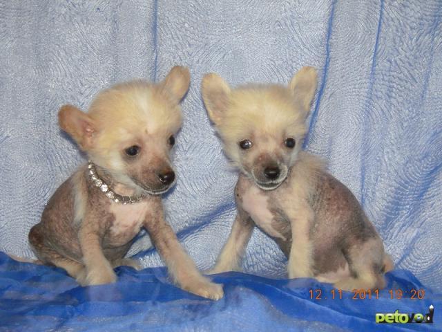 Продаю: Элитные щенки китайской хохлатой собачки