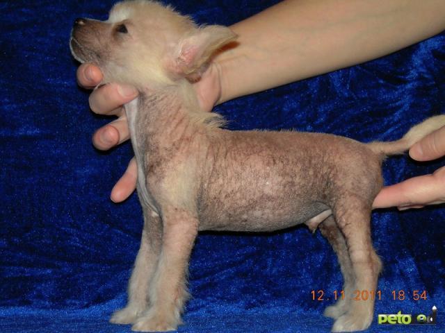 Продаю: Элитные щенки китайской хохлатой собачки фото2