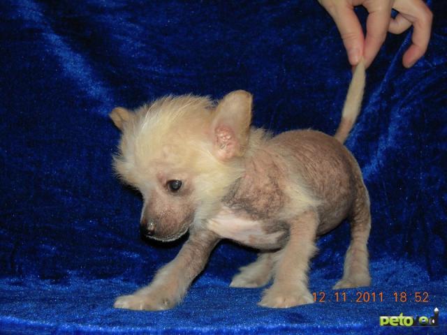 Продаю: Элитные щенки китайской хохлатой собачки фото3