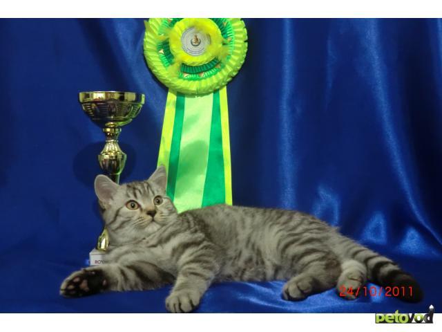 Продаю: продаю котенка британца