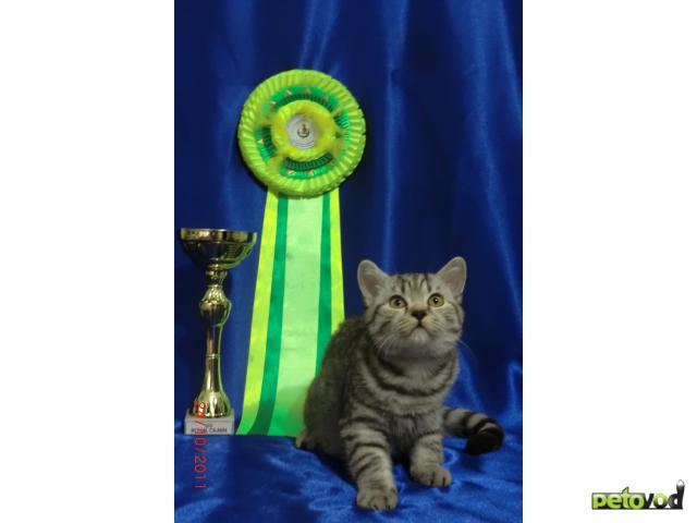 Продаю: продаю котенка британца фото2