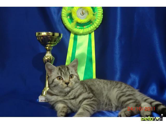 Продаю: продаю котенка британца фото3