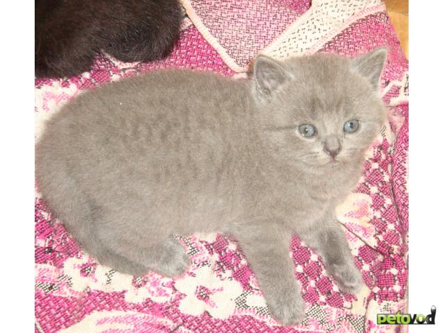Продаю: продам британских котят фото2
