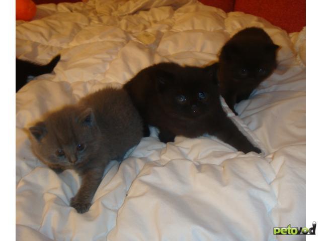 Продаю: продам британских котят фото3