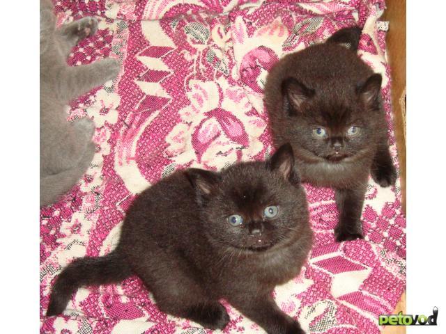 Продаю: продам британских котят фото4