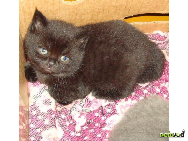 Продаю: продам британских котят