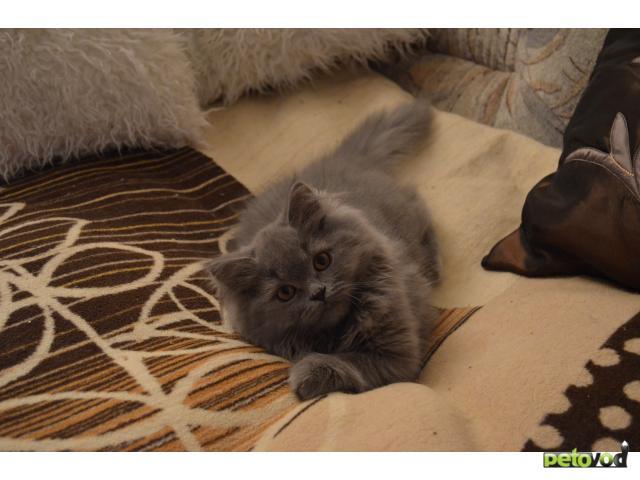 Продаю: очаровательные Британские котята фото3