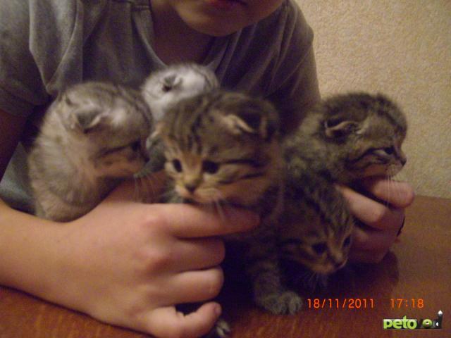 Продаю: шотландские котята от чемпионов