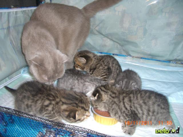 Продаю: шотландские котята от чемпионов фото3
