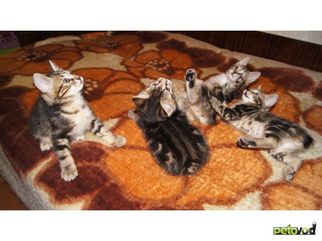 Продаю: Котята Курильского бобтейла Золото фото2
