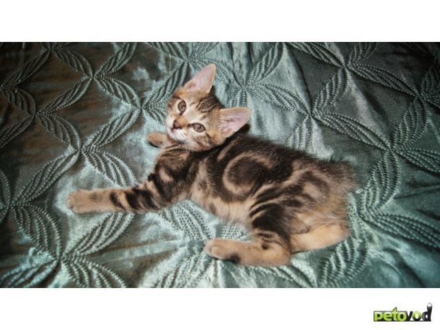 Продаю: Котята Курильского бобтейла Золото