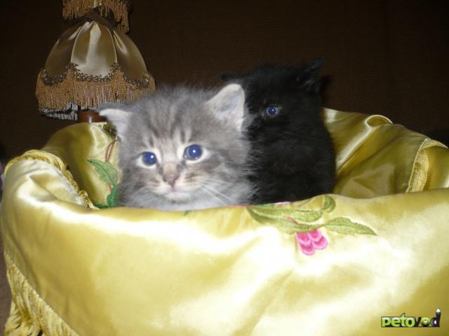 Отдам в дар: Пушистики в добрые руки от кошки сибирячки