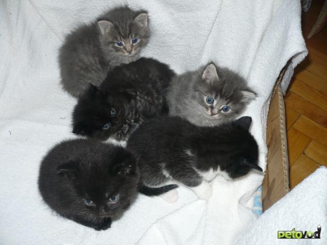 Отдам в дар: Пушистики в добрые руки от кошки сибирячки фото2