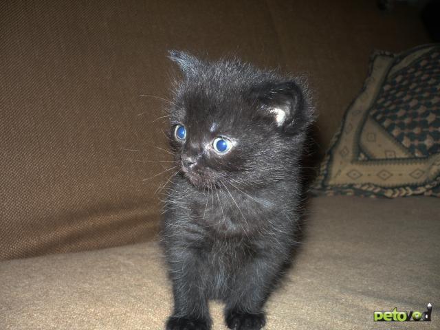 Отдам в дар: Пушистики в добрые руки от кошки сибирячки фото3