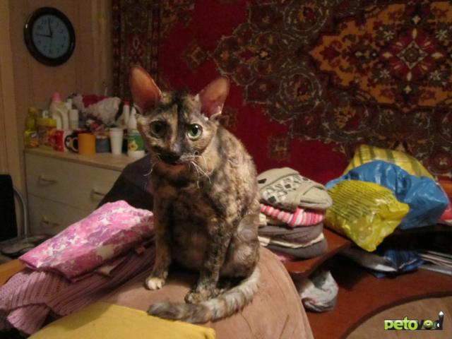 Продаю:  котят Корниш Рекс