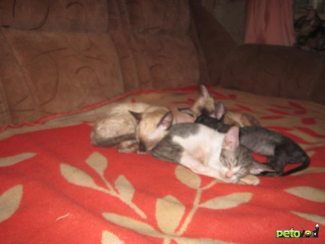 Продаю:  котят Корниш Рекс фото2