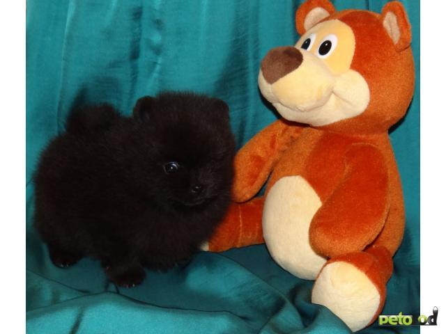 Продаю:  щенка шпица черного окраса