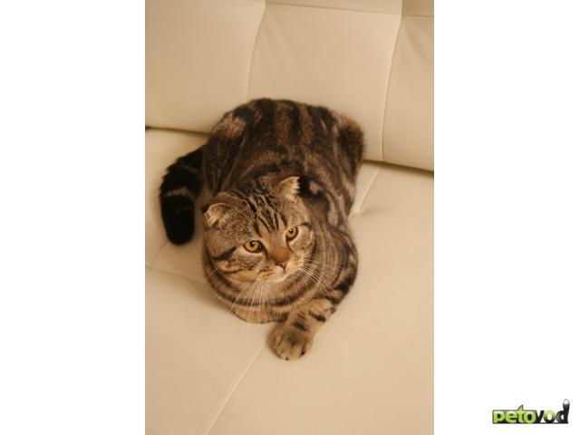 Вязка: Скоттиш-фолд приглашает кошечек на вязку