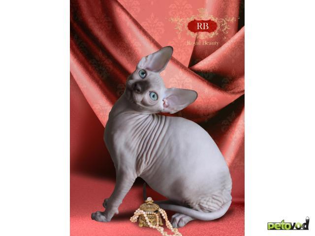 Продаю: Идеальные голыши-котята Канадского сфинкса