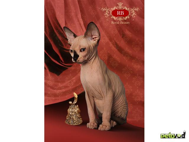 Продаю: Идеальные голыши-котята Канадского сфинкса фото2