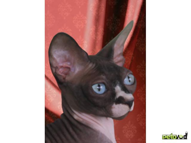 Продаю: Идеальные голыши-котята Канадского сфинкса фото3